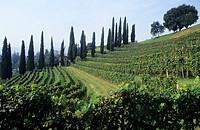 Colli degli Ulivi vineyard, Coldrerio, Mendrisio, Ticino, Switzerland