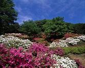 Godaison Azalea Ogose Saitama Japan Red White Blue sky Clouds