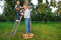 Father and son 7-9 picking apples, boy on ladder, portrait