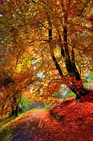 Beautiful single autumn beech leaning in golden colours. Loughrigg Tarn. Lake District. Cumbria. England
