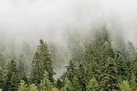 Mist over temperate Rainforest, Princess Royal Island, British Columbia, Canada