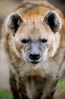 Portrait of a spotted hyaena (Crocuta crocuta)