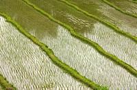 Terraced rice fields , Bali.