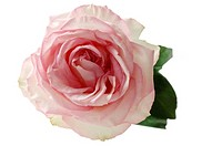 Pink rose Rosa, elevated view