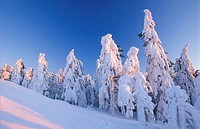 Snow-covered spruce trees at sunset, Ore Mountains, Saxony, Germany