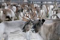 Reindeer round_up in Inari, Finnish Lapland.