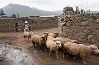 Herding sheep, Yanque, Colca Canyon, Peru