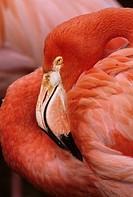 American flamingos (Phoenicopterus ruber)