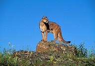 Cougar, Puma, Mountain lion, Panther, Puma concolor