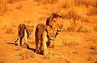 African Lions, family, Kalahari Gemsbok Park, South Africa, Panthera leo