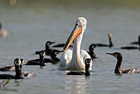 Cormorants and Dalmatian Pelican, Greece, Phalacrocorax carbo, Pelecanus crispus
