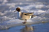 Pintail, male, Lake Tofutsu, Hokkaido, Japan, Anas acuta
