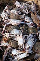Chapora, Goa India: crabs sold at the fish market