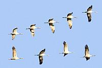 Common Crane (Grus grus). Toledo province, Castilla-la Mancha, Spain