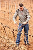 Pruning a vineyard. Andosilla, Navarra, Spain.