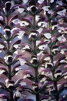 Acanthus spinosus, Bear´s breeches