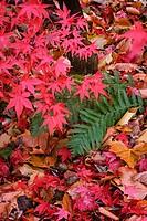 Acer Palmatum 'Atropurpureum', Japanese maple