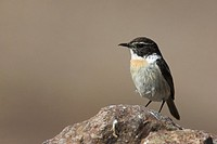 Canary Islands Chat, , Saxicola dacotiae,