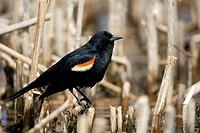 Red_winged blackbird, Agelaius phoeniceus