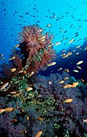 Fish at coral reef, Red Sea, Egpyt, shoal, school