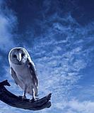 Barn Owl Branch at Dusk