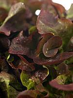 Raw Food, Salads, Lollo Rosso