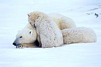 Family of Polar Bears @ Churchill Manitoba Canada