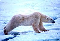 Polar Bear Stretching on Ice Churchill Manitoba Canada
