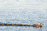 Mallard Hen & Chicks swimming Anchorage SC AK summer scenic