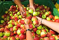 Apple crop, sorting, close up