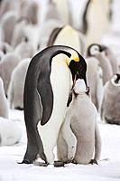 Emperor Penguin Aptenodytes forsteri pair feeding chick at Snow Hill Island, Weddel Sea, Antarctica