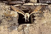 Barn owl (Tyto alba) flying to nest with mouse prey. Lorraine, France