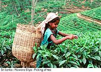Sri Lanka _ Nuwara Eliya _ Picking of tea