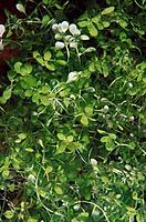 Freshwater. Rivers. Galicia. Spain. Freshwater plants (Callitriche stagnalis)
