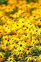 rudbeckia yellow flowers in bloom summer england uk europe