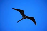Great Frigatebird,Fregata minor,Galapagos Islands,male,immature,flying