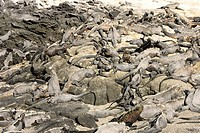 Marine Iguana,Amblyrhynchus cristatus,Galapagos Islands,Ecuador,adults,group,on rock,resting