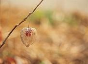 Close_up Of Physalis Fruit,Korea