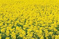 Rape Flowers Field,Namhae Island,Gyeongnam