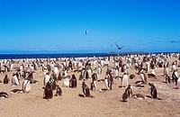 gentoo penguins _ colony /