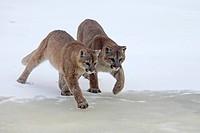 Pumas, Profelis concolor, snow