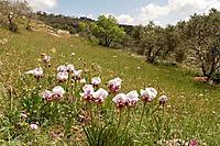 Aril Iris Iris Samariae blooming in Samaria