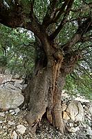 The Golan Heights Kermes Oak Quercus calliprinos on Mount Betarim the location of the covenant between the pieces