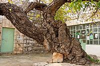 Judea White Mulberry tree Morus Alba at the Mosques forecourt in Amoriya