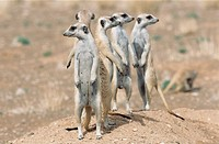 suricate, Suricata suricatta, group, blur, Africa, southwest_Africa, Namibia, Kalahari, Keetmanshoop, Wildlife, animals, wild animals, mammals, carniv...