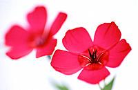 Scarlet Flax (Linum grandiflorum)