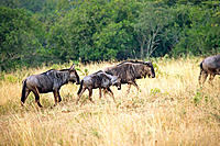Wildebeests, game drive in the Phinda private game reserve. KwaZulu-Natal province, South Africa