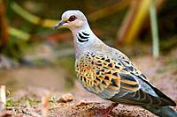 Turtle Dove (Streptopelia turtur)in Alto Palancia region. Castellón. Spain.