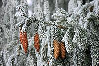 Picea abies, Norway Spruce, spruce tree, fir tree, winter, white, frost, hoar, hoarfrost, cold, cold, branches, nature