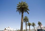 Palm trees and sydney opera house